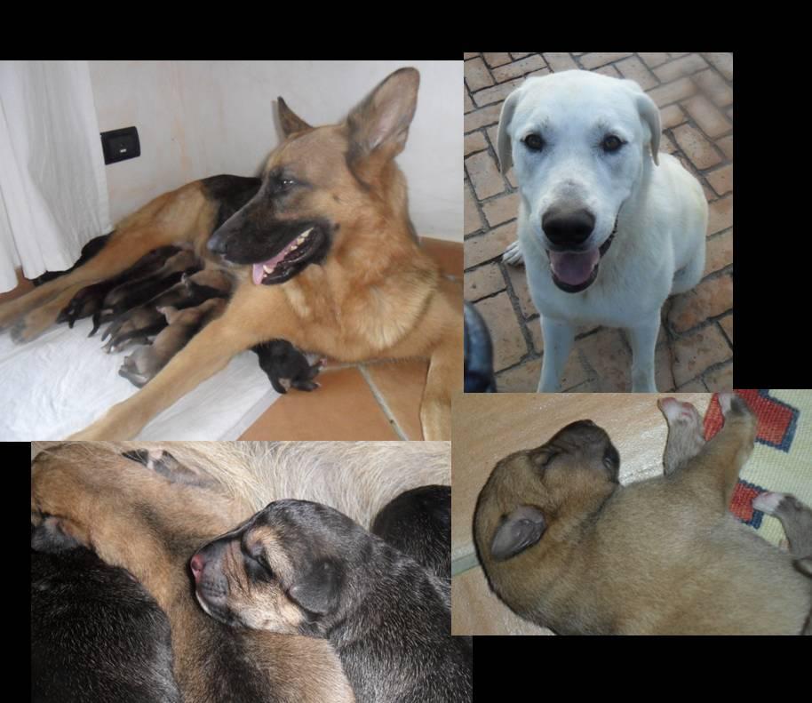Regalo Cuccioli Di Cani Da Guardia E Da Difesa Petpassion