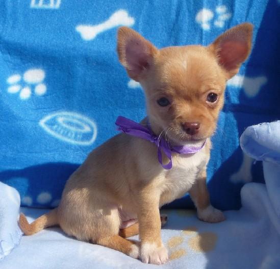 Maltese a pelo corto cucciolo for Cerco mobile in regalo