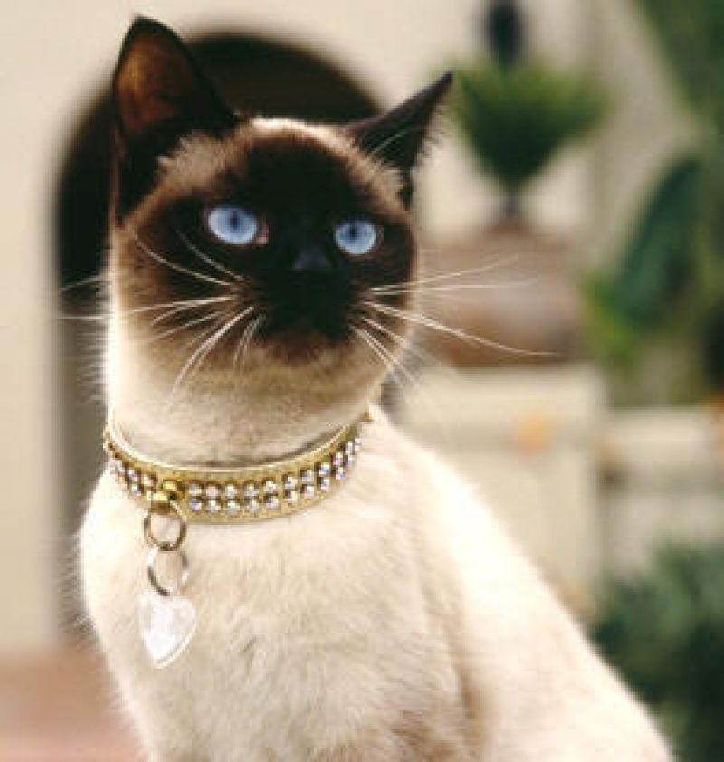 Cerco in regalo una gattina siamese petpassion for Cerco di tutto in regalo