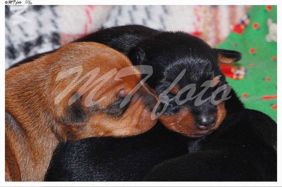 cuccioli di pincher | Petpassion