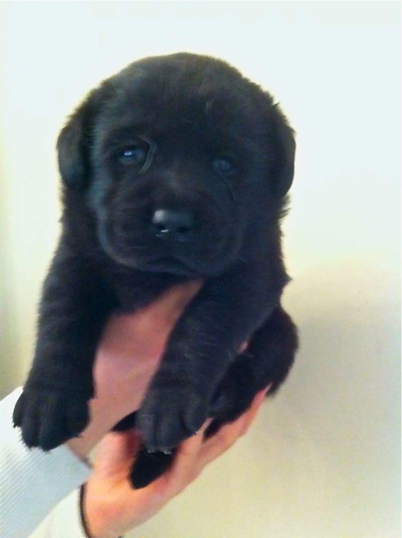 Cuccioli Di Labrador Neri In Vendita Petpassion