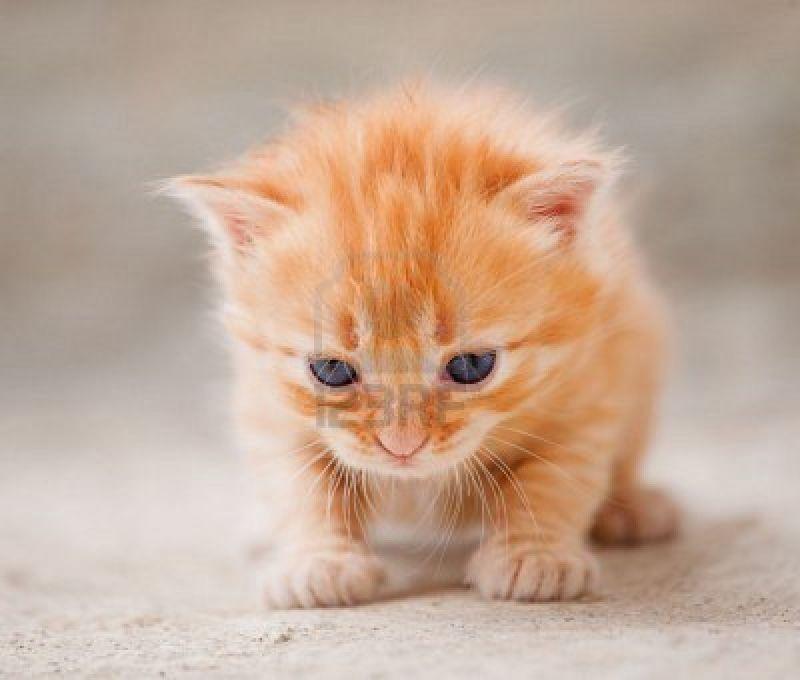 cerco in regalo gattino rossiccio tigrato petpassion