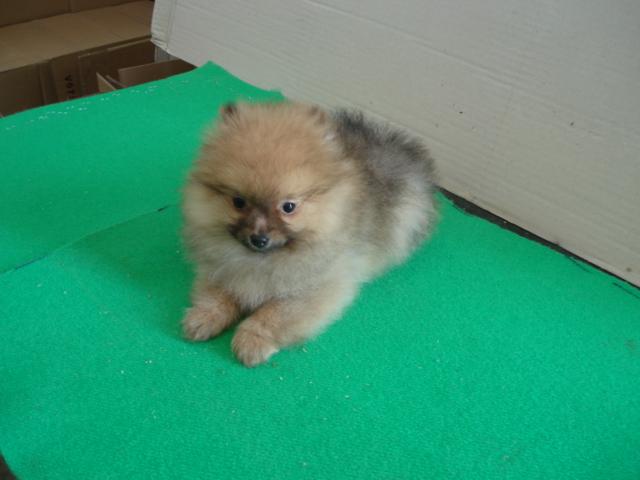 Cerco cucciolo di Spitz nano  Petpassion