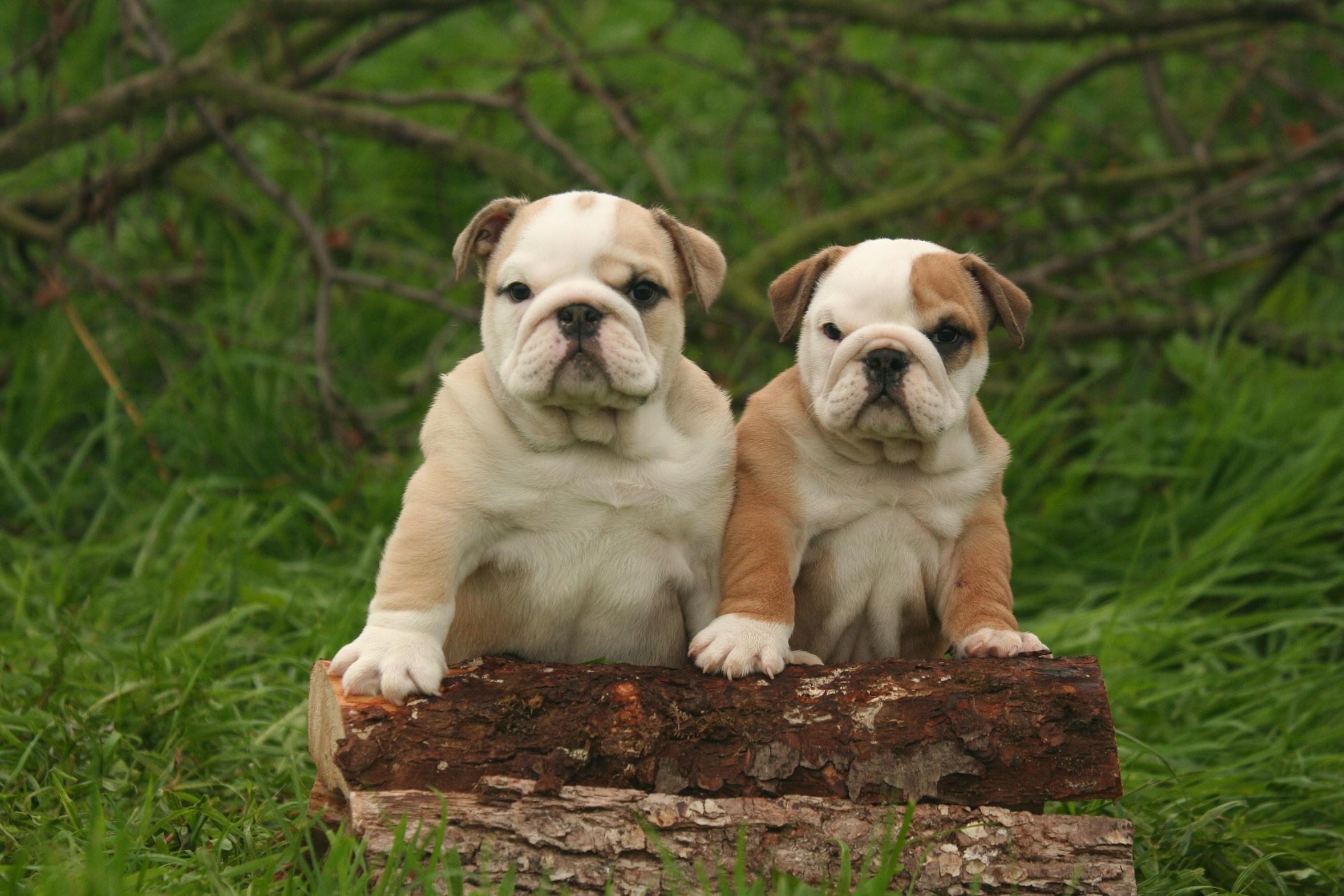 Cerco bulldog cerco cucciolo bulldog inglese in regalo for Cerco di tutto in regalo