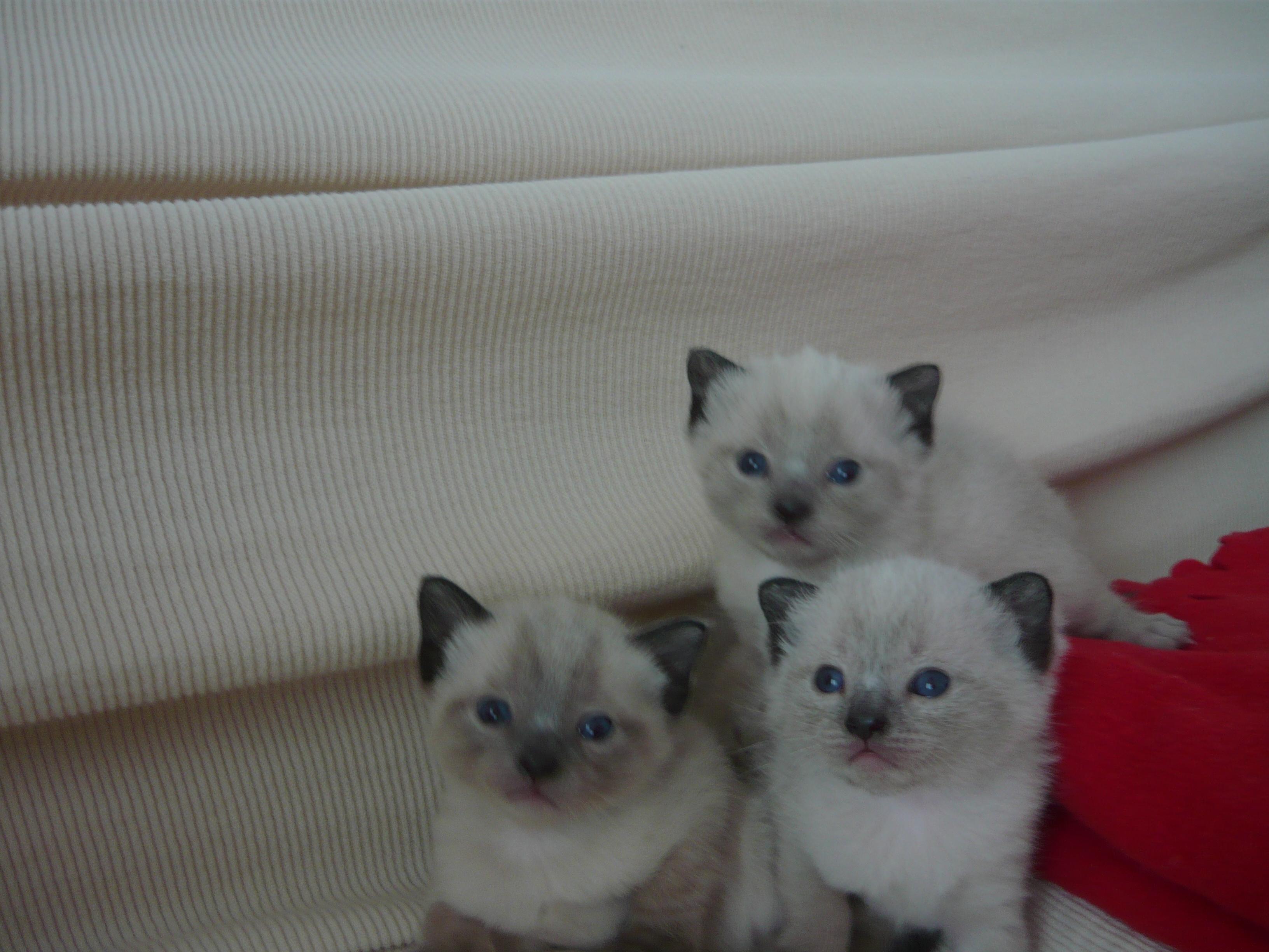 Gatti Bellissimi In Regalo.Regalo Cuccioli Gatto Thai Petpassion