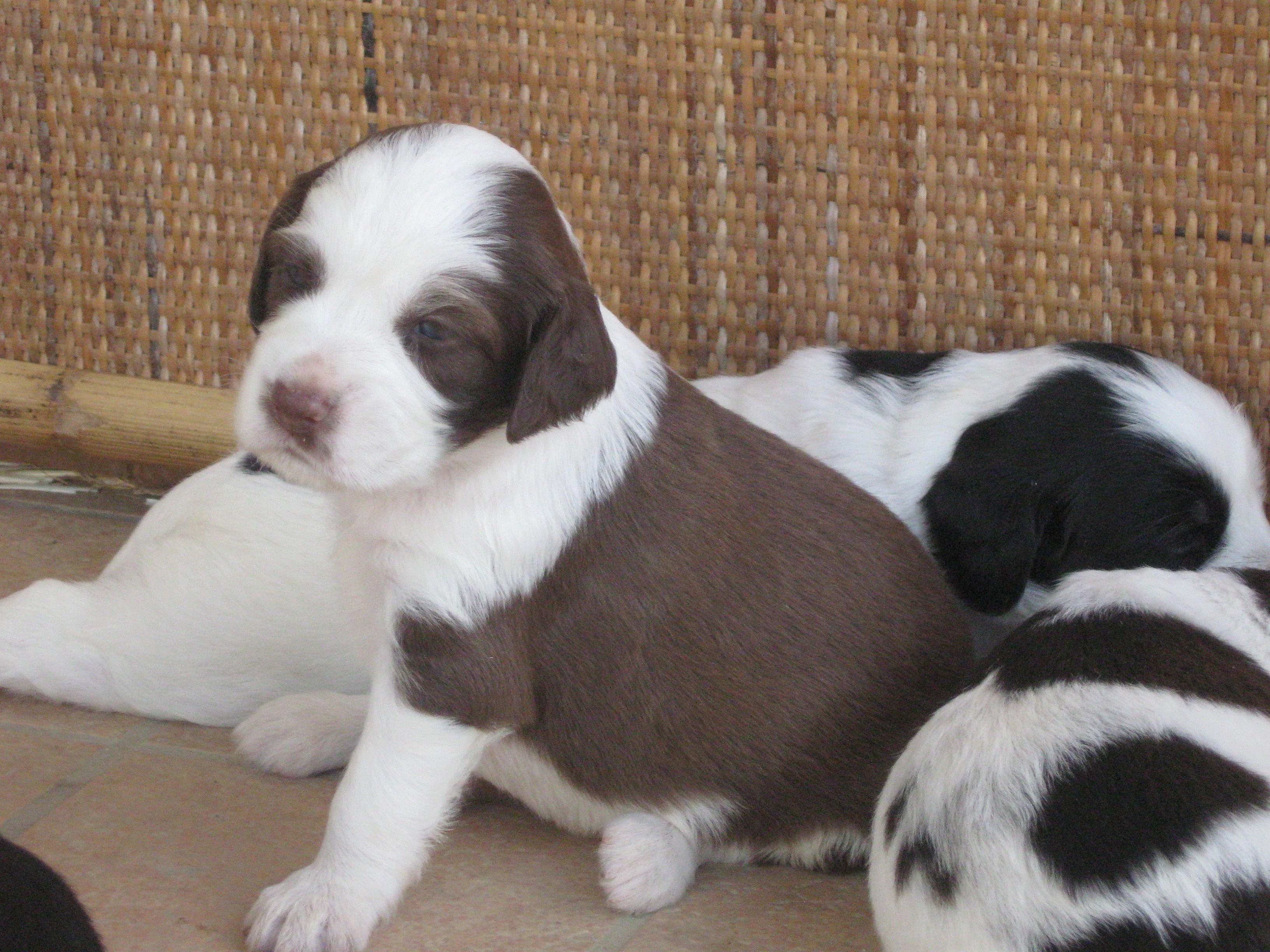 Cuccioli di mamma setter regalo petpassion for Regalo annunci