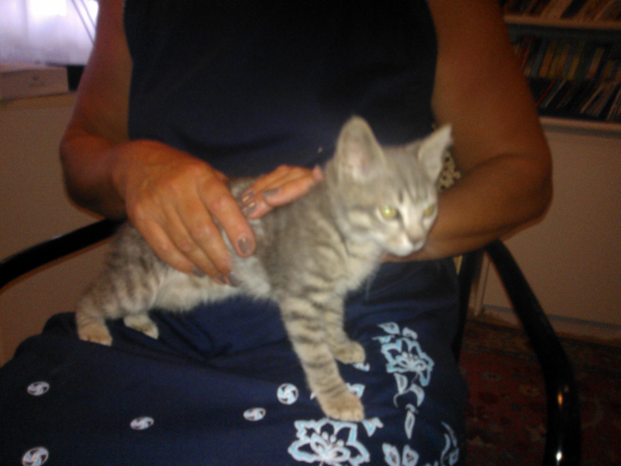 Regalo splendida gattina tigrata di circa 2 mesi petpassion for Regalo a chi se lo viene a prendere