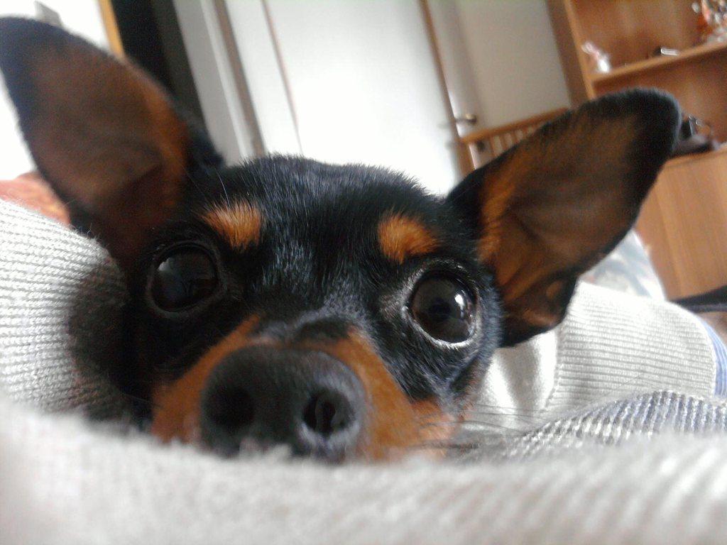 Cerco maschio di pincher toy nero focato petpassion for Pincher cucciolo