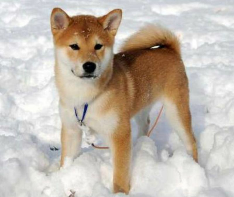 Cercasi cucciola shiba inu in regalo petpassion for Cercasi in regalo