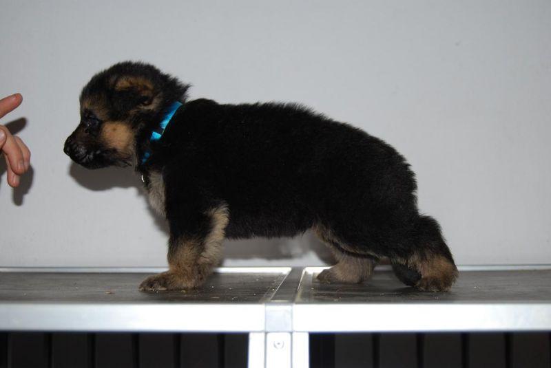 Cerco disperatamente un cucciolo di pastore tedesco in for Cerco arredamento in regalo