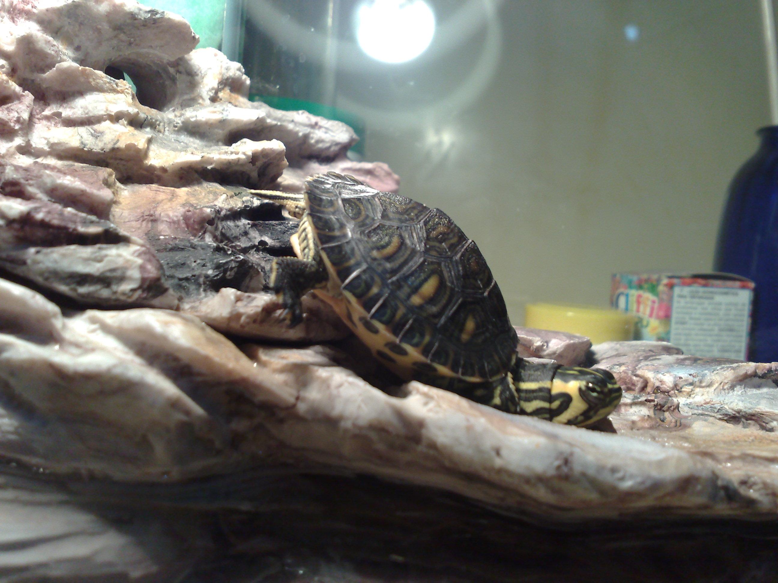 Tartaruga nell 39 acquario petpassion for Depuratore acquario tartarughe