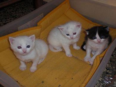 Profilo ditre piccoli gattini gatto europeo petpassion for I gattini piccoli