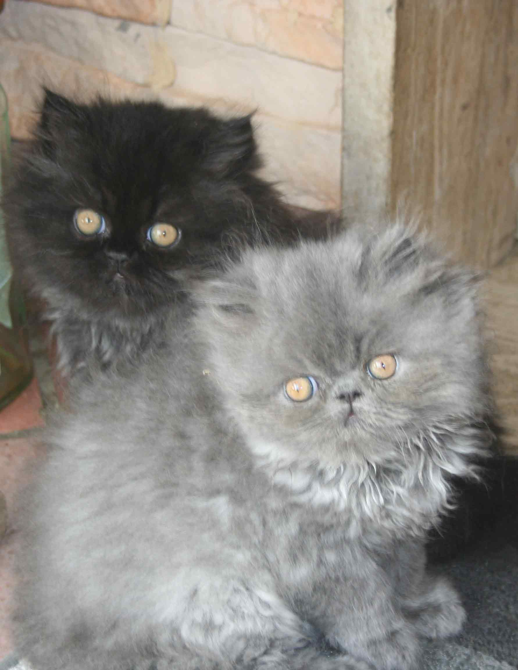 Disponibili cuccioli di persiano (neri e blu) gattini , gatto , persiani