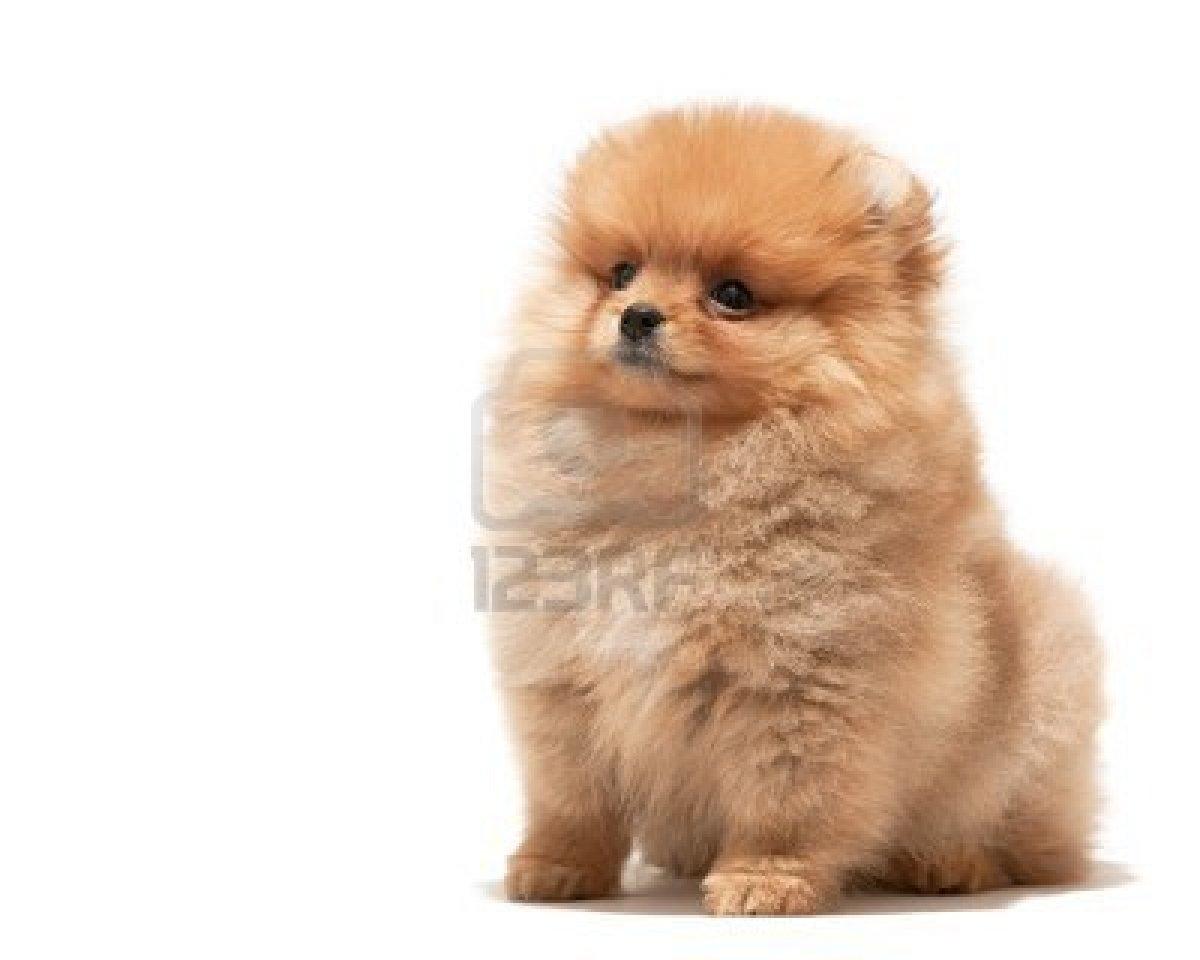 Cerco cucciolo volpino di pomerania petpassion for Regalo annunci