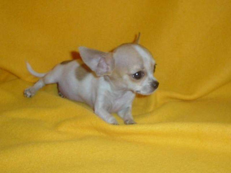 Cerco In Regalo Cucciolo Femmina Di Chihuahua Mini Toy Petpassion