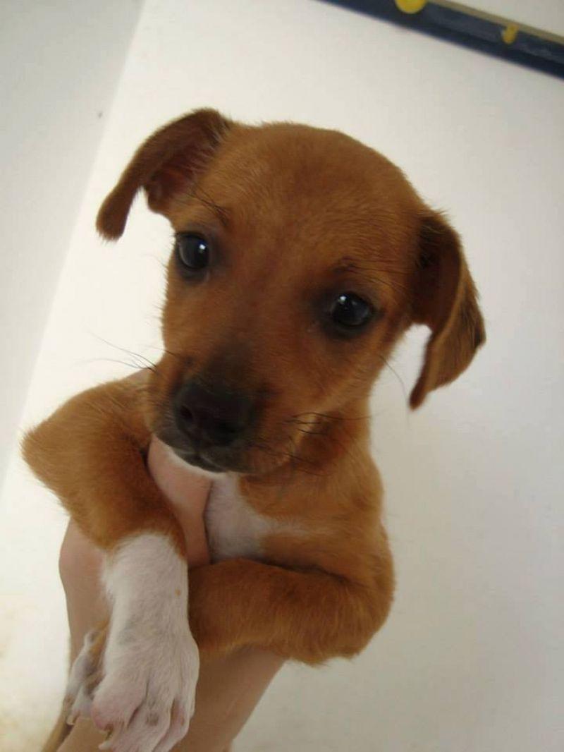Cucciolo simil chihuahua in regalo petpassion for Regalo a chi