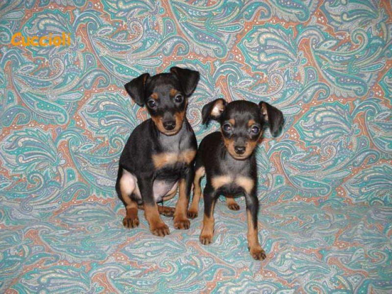 Pincher nano cuccioli petpassion for Pincher cucciolo