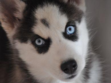 Cani gatti uccelli e altri animali domestici la community di petpassion - Husky con occhi diversi ...