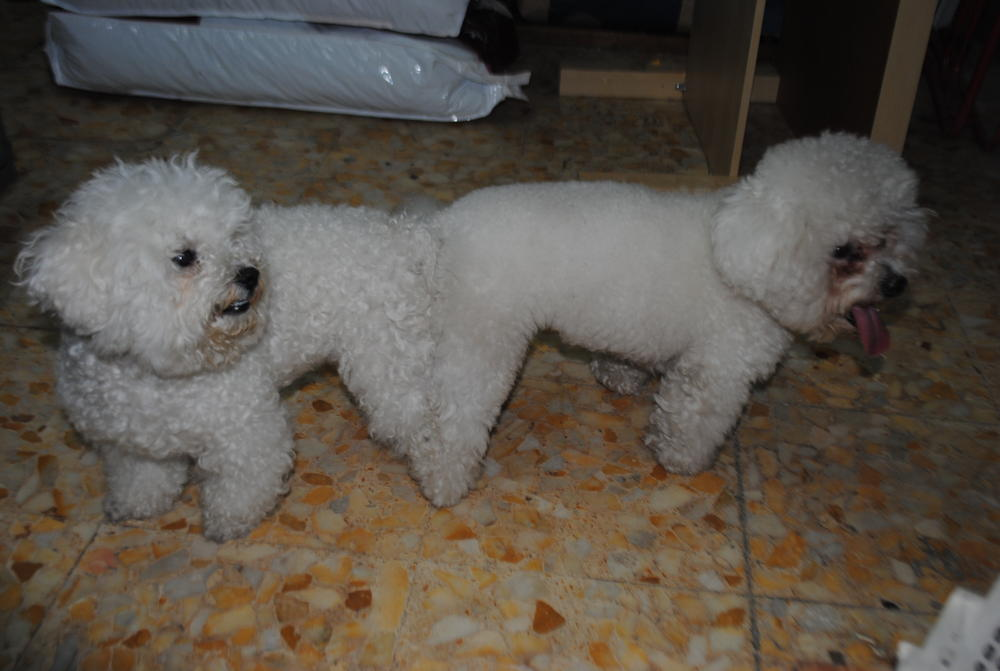 Cuccioli Di Cane Taglia Piccola In Regalo