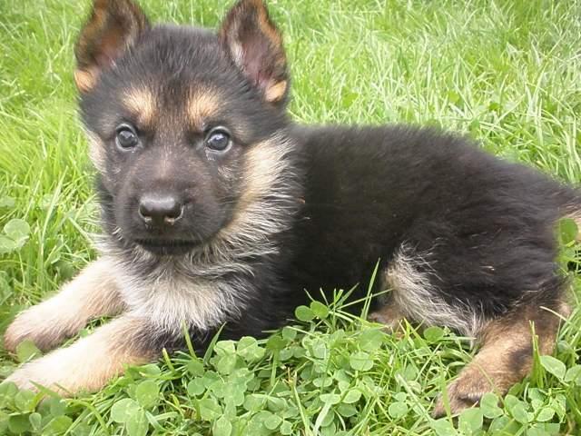 Cerco cucciolo pastore tedesco petpassion for Cerco arredamento casa in regalo