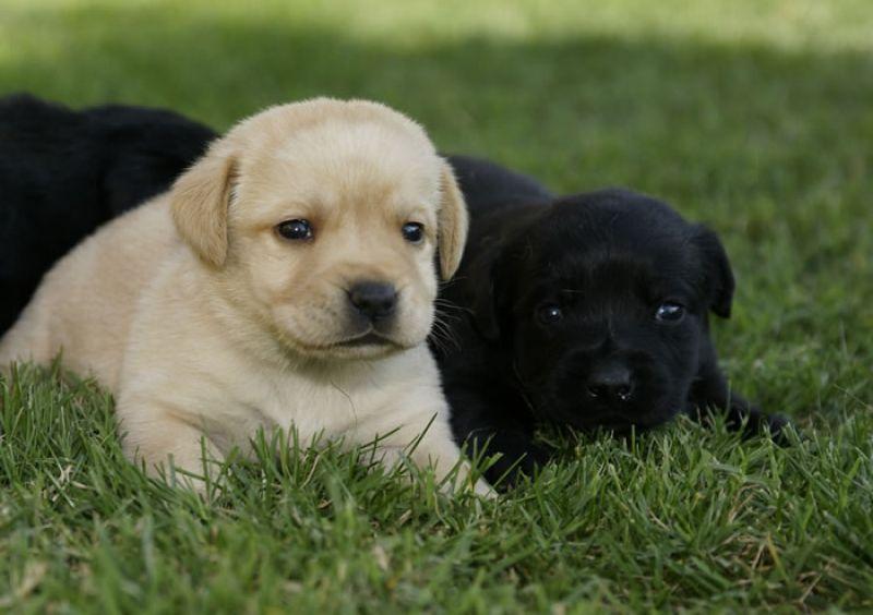 Cerco cucciolo labrador petpassion for Cerco televisore in regalo