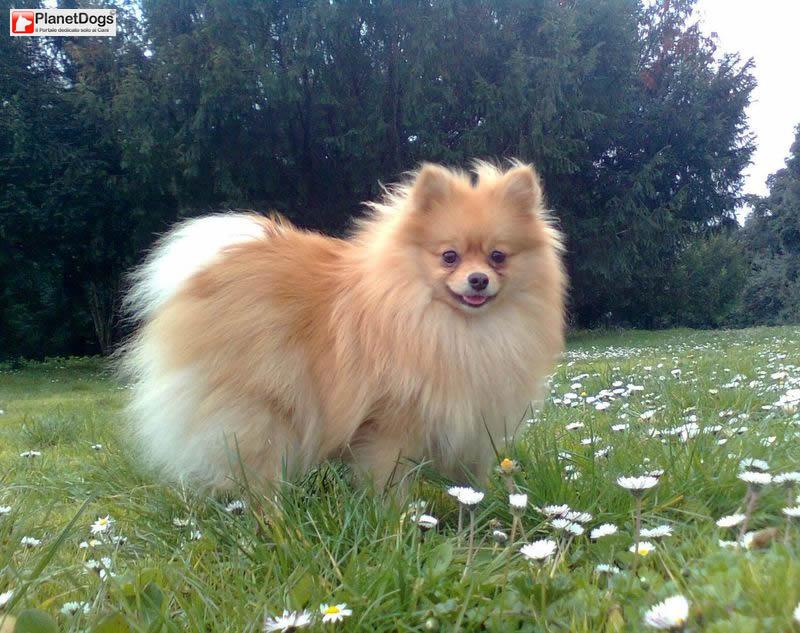 Cerco un cucciolo di cane di taglia piccola in regalo