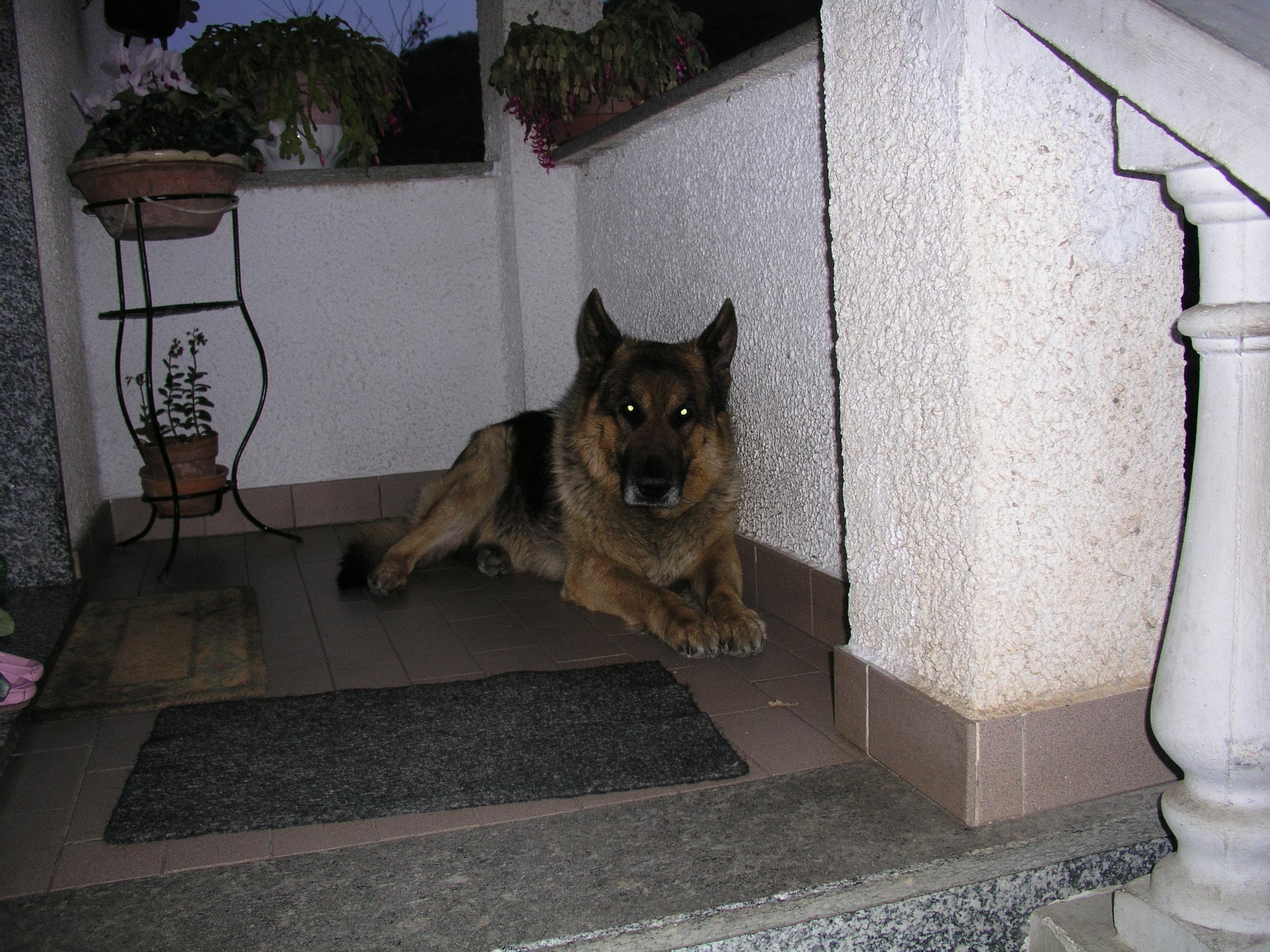 cerco cane o cucciolo di pastore tedesco taglia grande di razza da