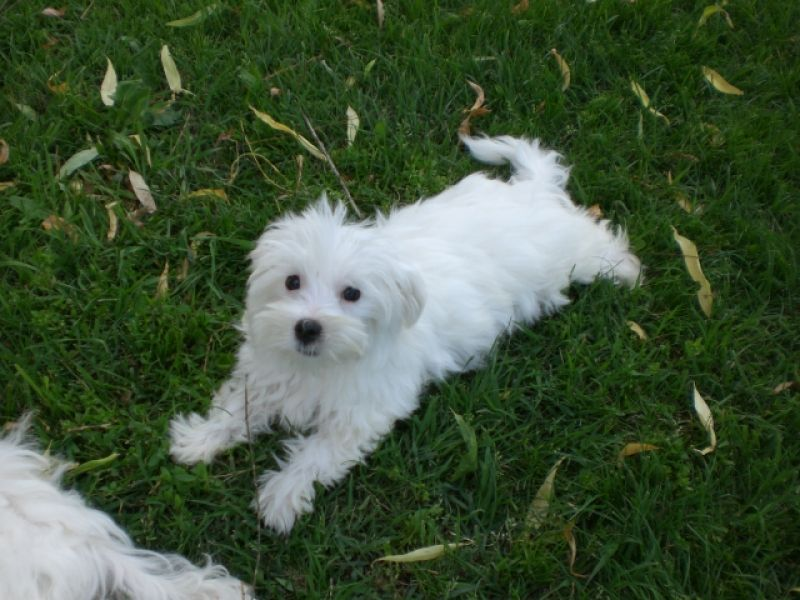 Cerco cucciolo di maltese in regalo petpassion for Cerco gratis