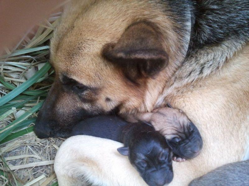 regalo cuccioli di mamma pastore tedesco puro