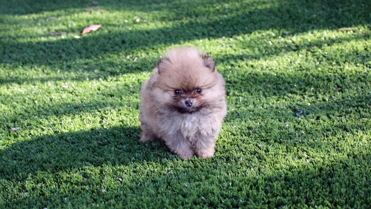 Cerco spitz nano cucciolo volpino di pomerania petpassion for Cane volpino nano