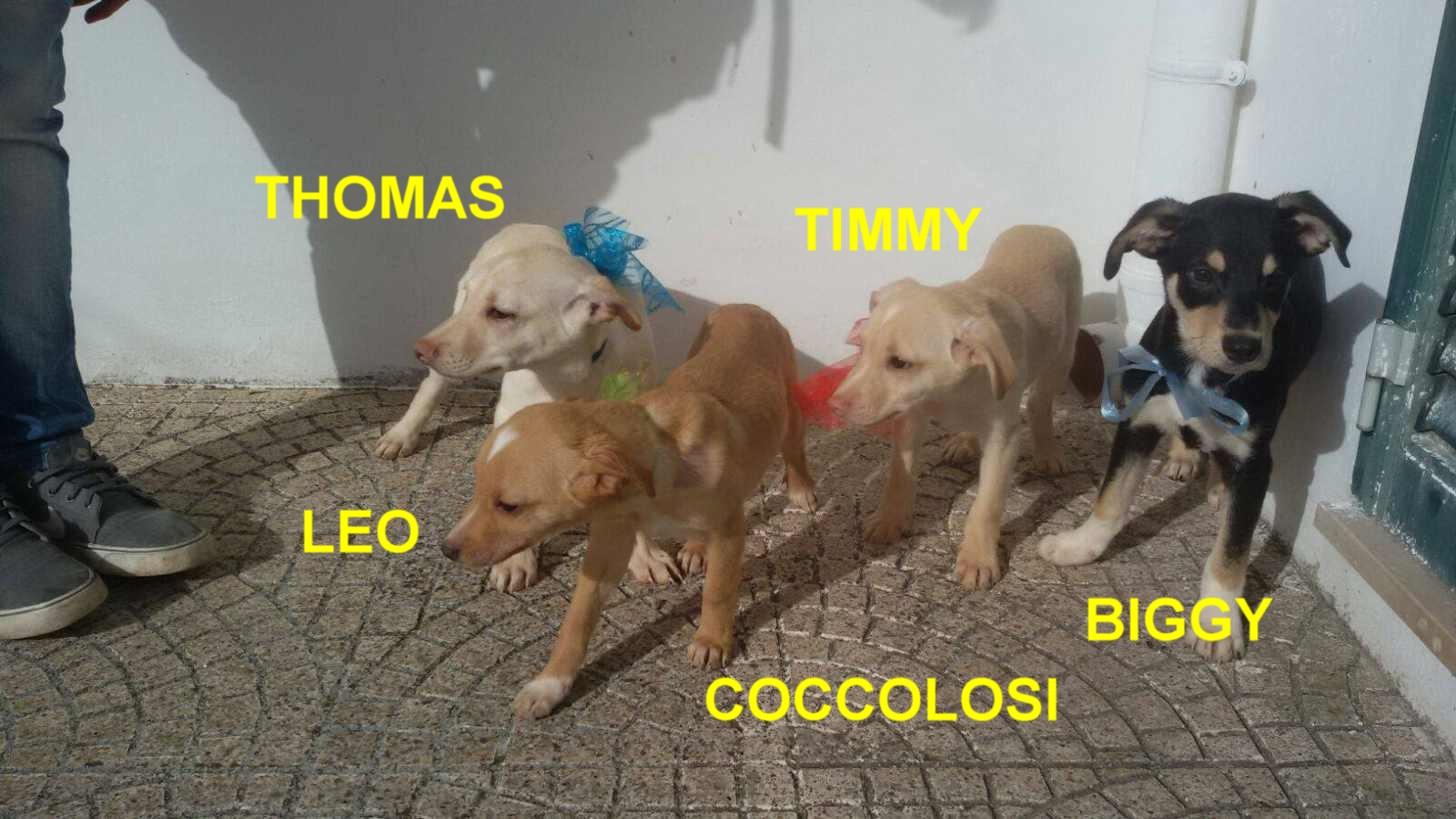 Cuccioli incrocio pincher volpino beagle in regalo for Pincher volpino