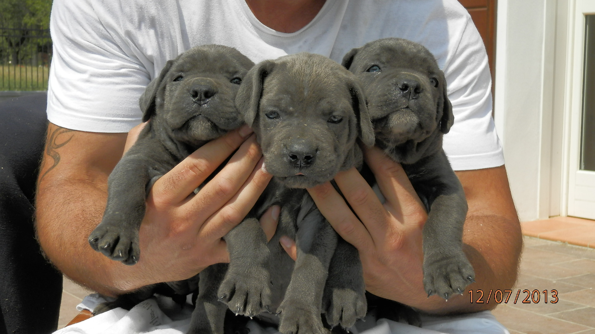 Cuccioli Cane Corso Petpassion