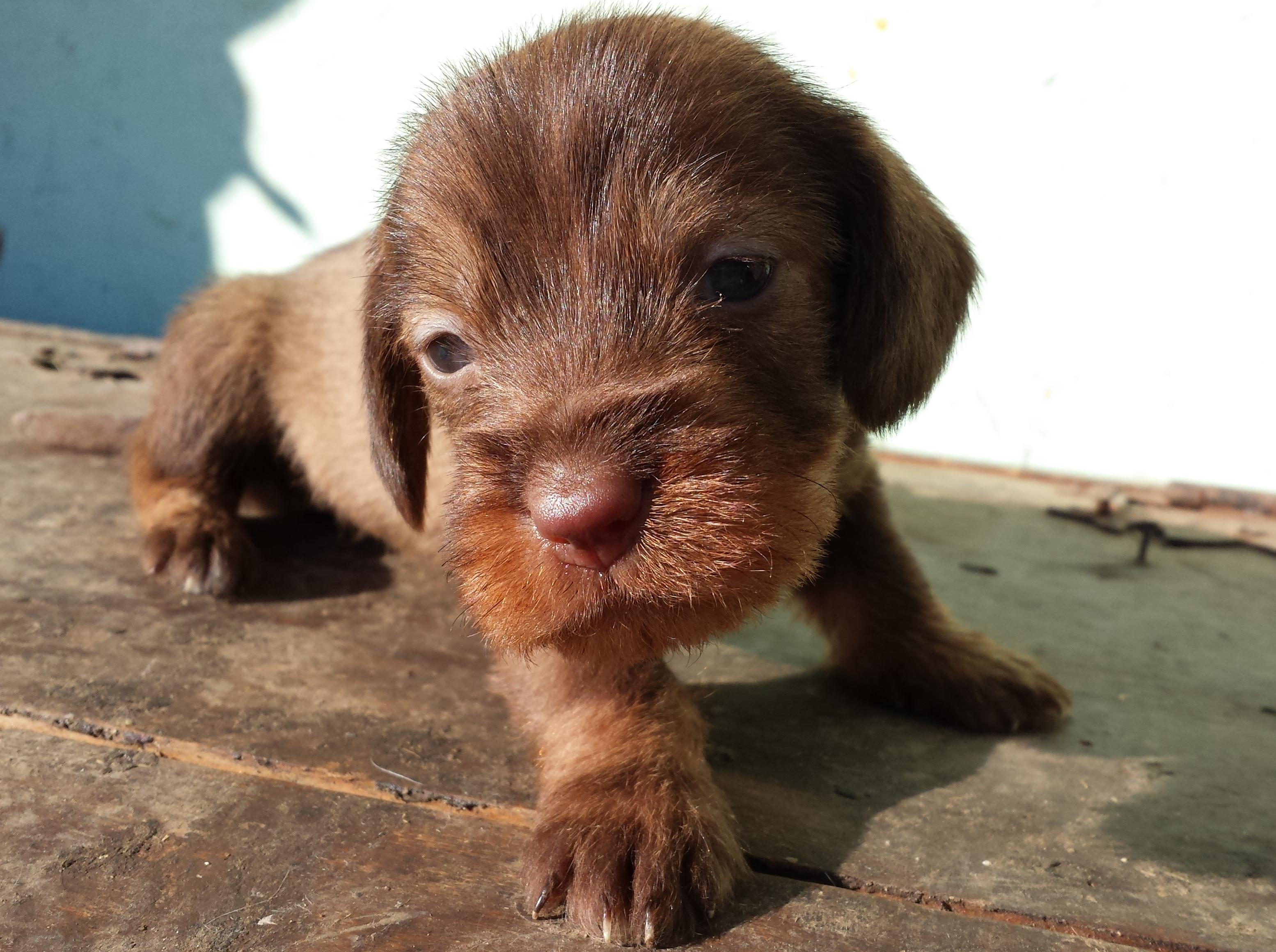 Splendidi cuccioli di bassotto tedesco petpassion for Bassotto prezzo