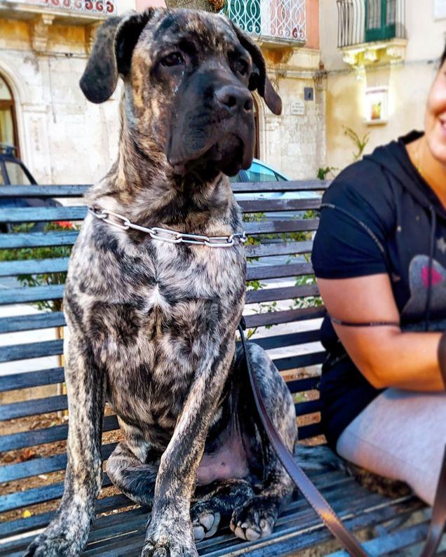 Cucciolo di cane Corso tradizionale tigrato
