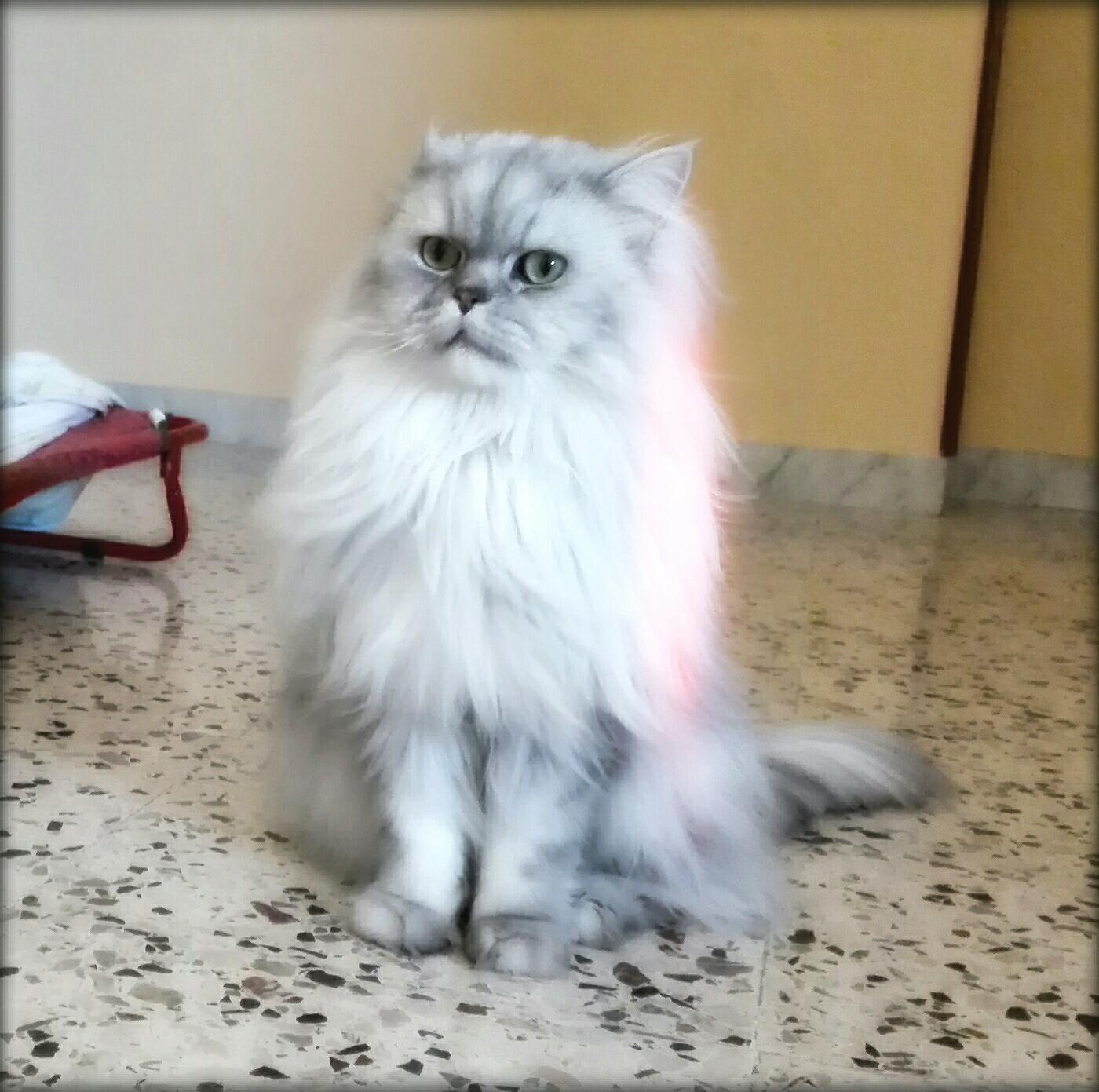 Gatto Persiano Chinchilla Silver Shaded Petpassion