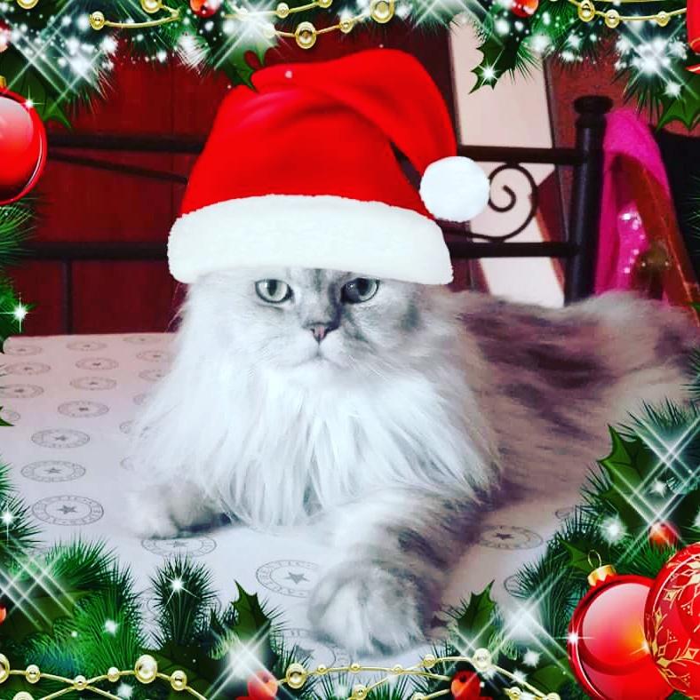 Immagini Natale Con Gatti.Gatto Persiano Con Cappello Di Babbo Natale Petpassion