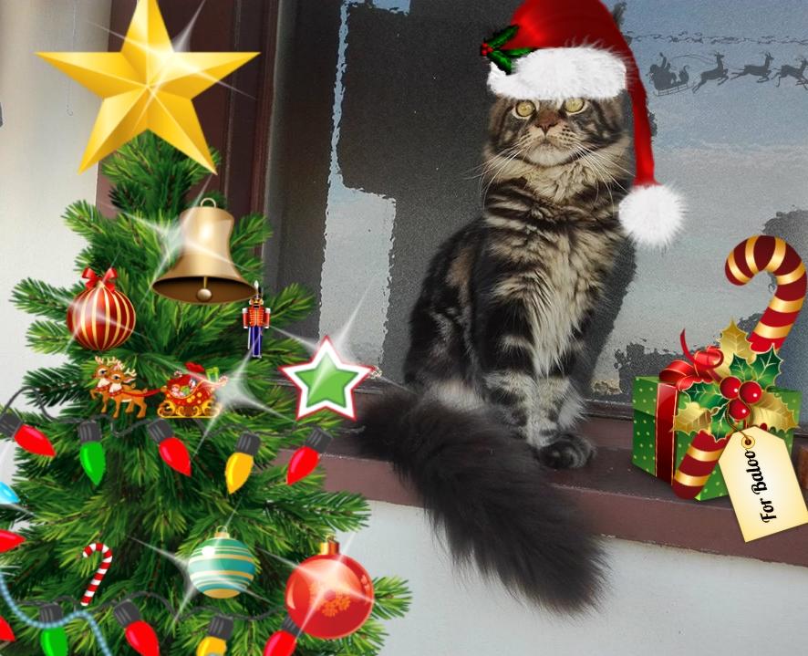 Gatto Maine Coon Con Cappello Di Babbo Natale Petpassion