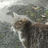 Una bellissima Micia grigia16