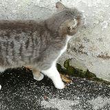 Una bellissima Micia grigia18