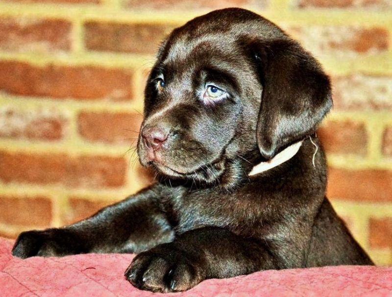 Cuccioli Labrador Chocolate con pedigree selezionato
