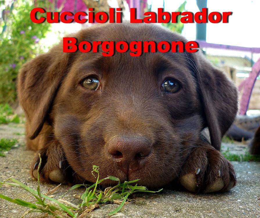 Cuccioli Di Labrador Chocolate Pedigree Con Pluricampioni Petpassion