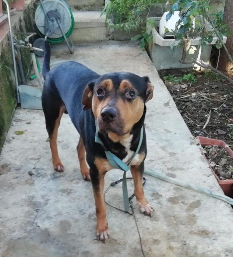 Cane  mix Rottweiler maschio 4 anni Pato, in ADOZIONE!!!