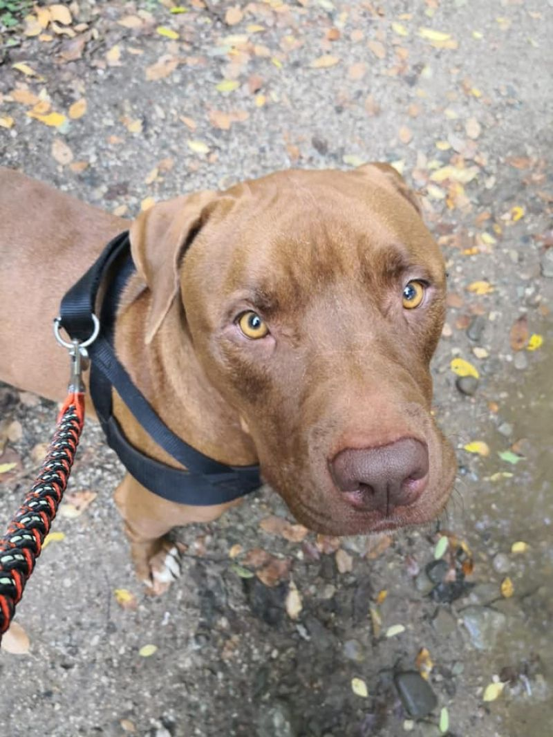 Cane Pit Bull red nose maschio Argo, 2 anni, in ADOZIONE!!!