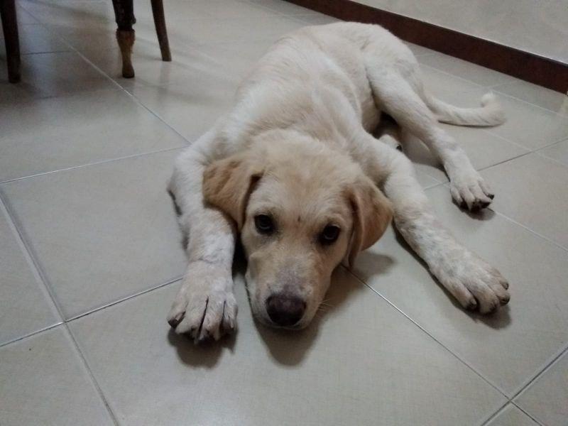 Zante cucciolo di 7 mesi mix Labrador