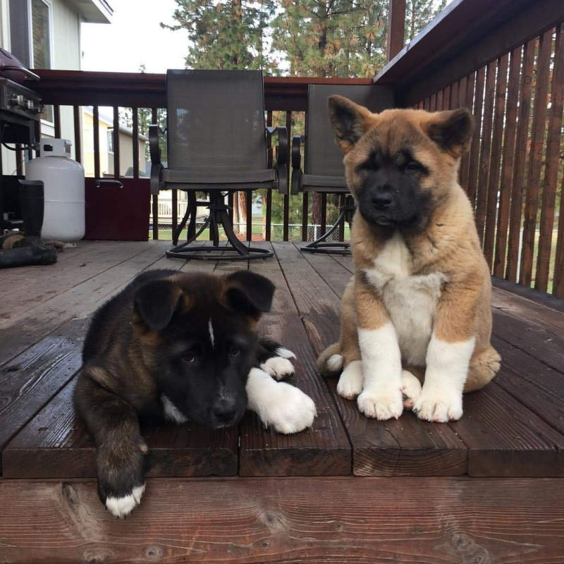 Beautiful AKITA puppies for adoption with all shots all to date