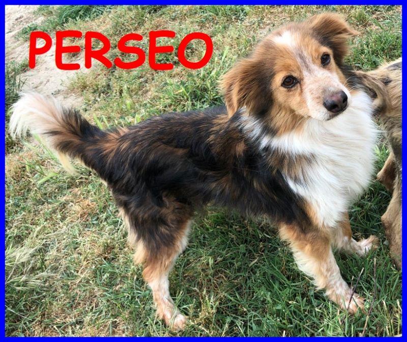 PERSEO, cane ATTIVO e VIVACE, 3 anni, taglia p/m