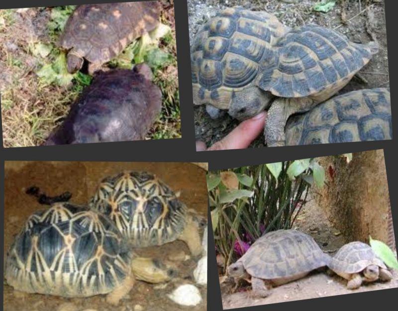 cerco tartarughe da terra di qualsiasi specie petpassion