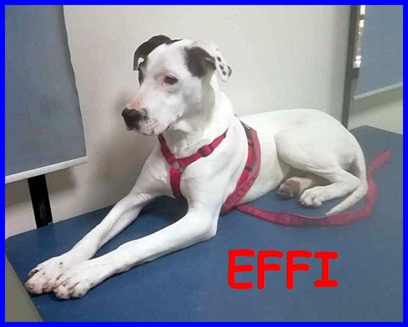 EFFI cucciolone 10 mesi simil amstaff tenero e coccolone