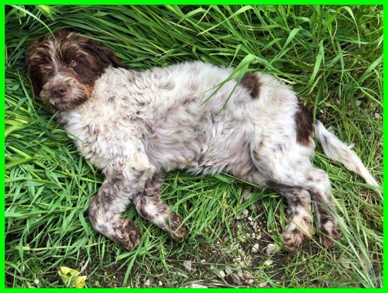 BANANA cucciolone lagottino 1 anno lasciato a morire in un bosco