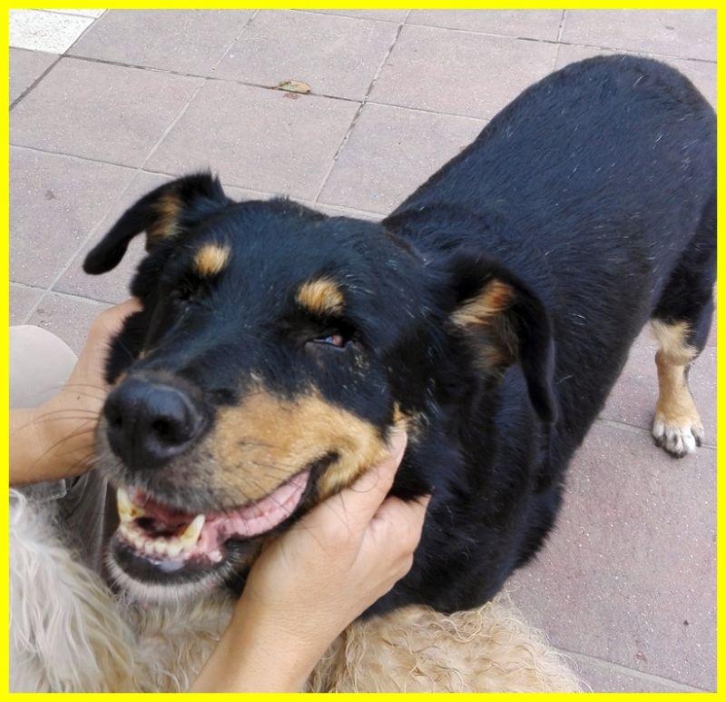 MASSIMO simil rottweiler 8 anni cieco buonissimo adozione d'amore